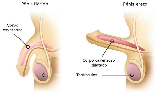 órgão sexual masculino
